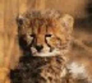 guepardonline.jpg